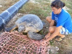 Meg tries to coax a reluctant female Honu onto the stretcher net so she can be moved back to the beach. (Photo by Megan Juran)