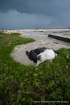 Laysan albatross killed by flying debris.