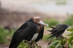 A soaked and sad-looking Great Frigatebird