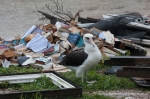 Laysan albatross among what's left of the station's library.