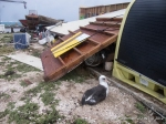 A very lucky Laysan albatross. Three feet to the left and this poor gal would've been crushed by the boathouse wall that was launched a good 15 feet. Hopefully its mate survived the storm, too and the chick doesn't get entrapped in our debris.